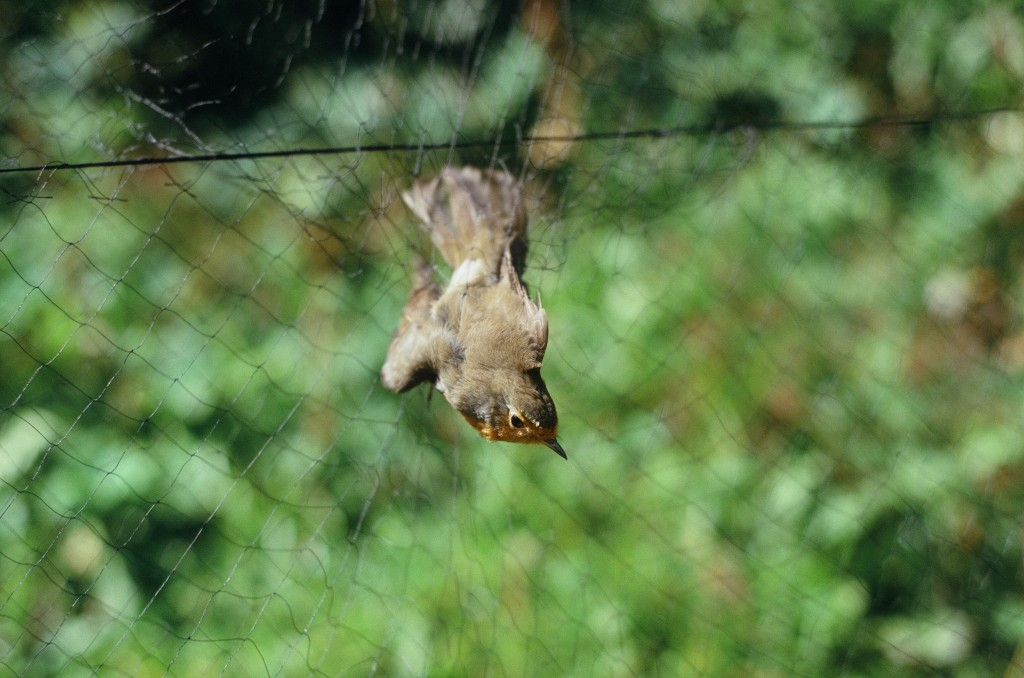 A Robin caught in the Mist Net on its migration path