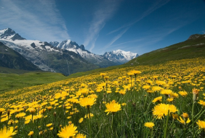 alpine flowers on mountain