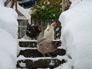 It's like snow of a hens back
